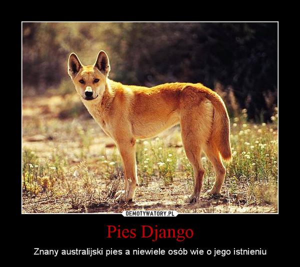 Pies Django – Znany australijski pies a niewiele osób wie o jego istnieniu