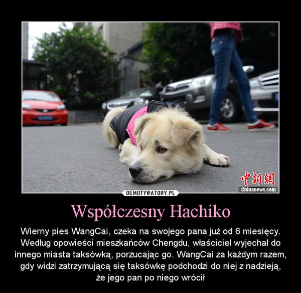 Współczesny Hachiko – Wierny pies WangCai, czeka na swojego pana już od 6 miesięcy. Według opowieści mieszkańców Chengdu, właściciel wyjechał do innego miasta taksówką, porzucając go. WangCai za każdym razem, gdy widzi zatrzymującą się taksówkę podchodzi do niej z nadzieją,że jego pan po niego wrócił