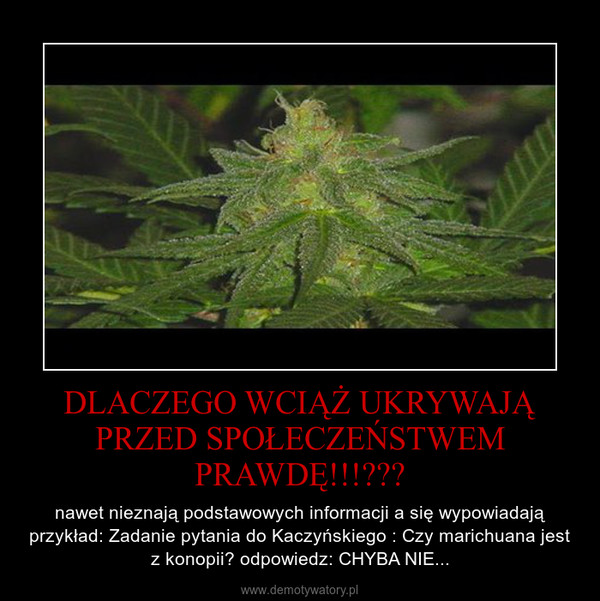DLACZEGO WCIĄŻ UKRYWAJĄ PRZED SPOŁECZEŃSTWEM PRAWDĘ!!!??? – nawet nieznają podstawowych informacji a się wypowiadają przykład: Zadanie pytania do Kaczyńskiego : Czy marichuana jest z konopii? odpowiedz: CHYBA NIE...