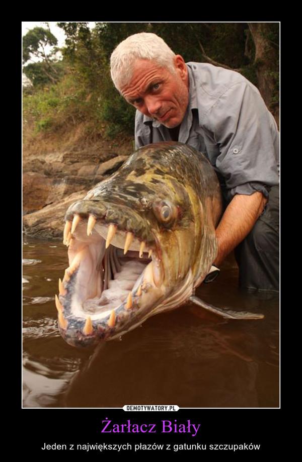 Żarłacz Biały – Jeden z największych płazów z gatunku szczupaków