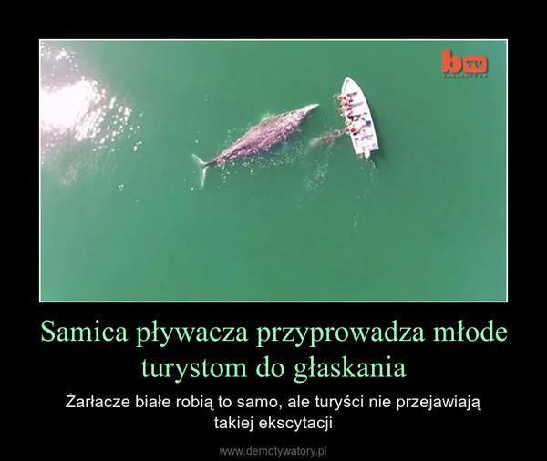 Samica pływacza przyprowadza młode turystom do głaskania – Żarłacze białe robią to samo, ale turyści nie przejawiajątakiej ekscytacji