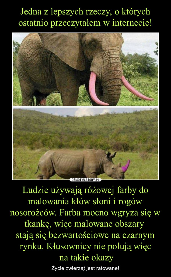 Ludzie używają różowej farby do malowania kłów słoni i rogów nosorożców. Farba mocno wgryza się w tkankę, więc malowane obszary stają się bezwartościowe na czarnym rynku. Kłusownicy nie polują więc na takie okazy – Życie zwierząt jest ratowane!