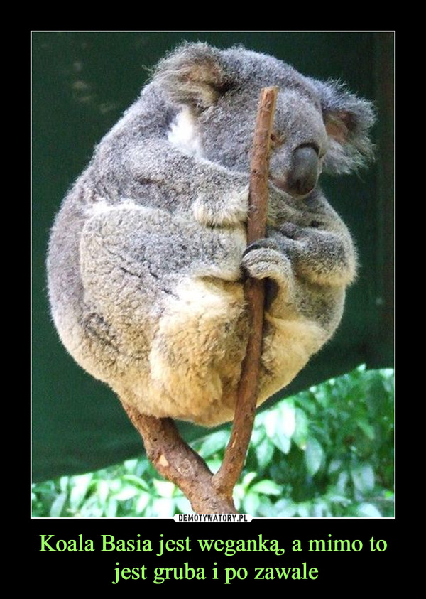 Koala Basia jest weganką, a mimo to jest gruba i po zawale –