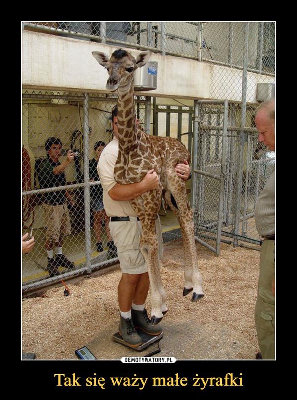 Tak się waży małe żyrafki –