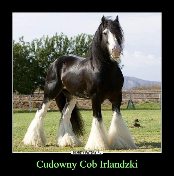 Cudowny Cob Irlandzki –