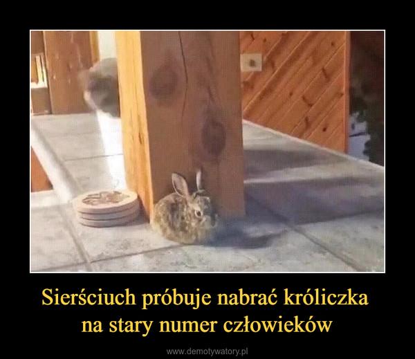 Sierściuch próbuje nabrać króliczka na stary numer człowieków –