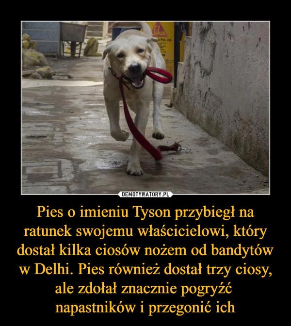 Pies o imieniu Tyson przybiegł na ratunek swojemu właścicielowi, który dostał kilka ciosów nożem od bandytów w Delhi. Pies również dostał trzy ciosy, ale zdołał znacznie pogryźć napastników i przegonić ich –