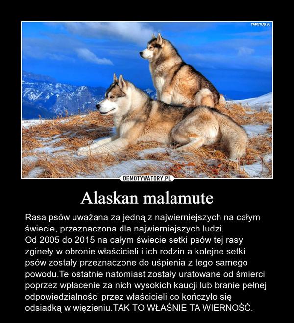 Alaskan malamute – Rasa psów uważana za jedną z najwierniejszych na całym świecie, przeznaczona dla najwierniejszych ludzi.Od 2005 do 2015 na całym świecie setki psów tej rasy zgineły w obronie właścicieli i ich rodzin a kolejne setki psów zostały przeznaczone do uśpienia z tego samego powodu.Te ostatnie natomiast zostały uratowane od śmierci poprzez wpłacenie za nich wysokich kaucji lub branie pełnej odpowiedzialności przez właścicieli co kończyło się odsiadką w więzieniu.TAK TO WŁAŚNIE TA WIERNOŚĆ.