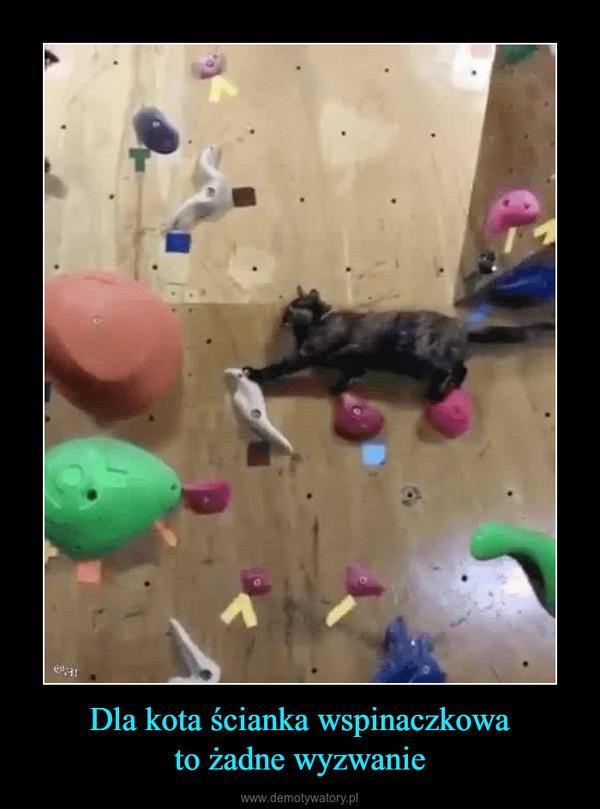Dla kota ścianka wspinaczkowato żadne wyzwanie –