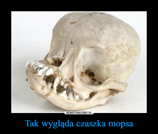 Tak wygląda czaszka mopsa –
