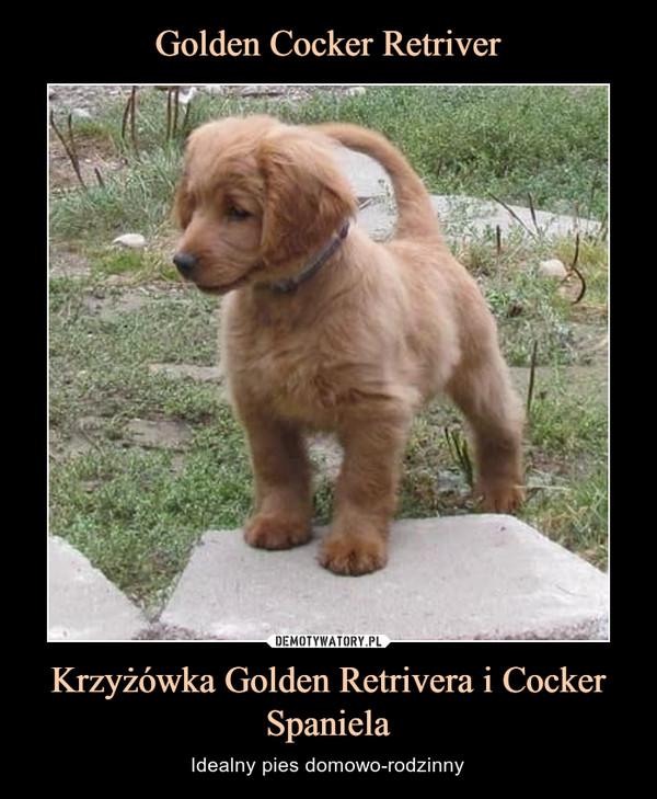 Krzyżówka Golden Retrivera i Cocker Spaniela – Idealny pies domowo-rodzinny