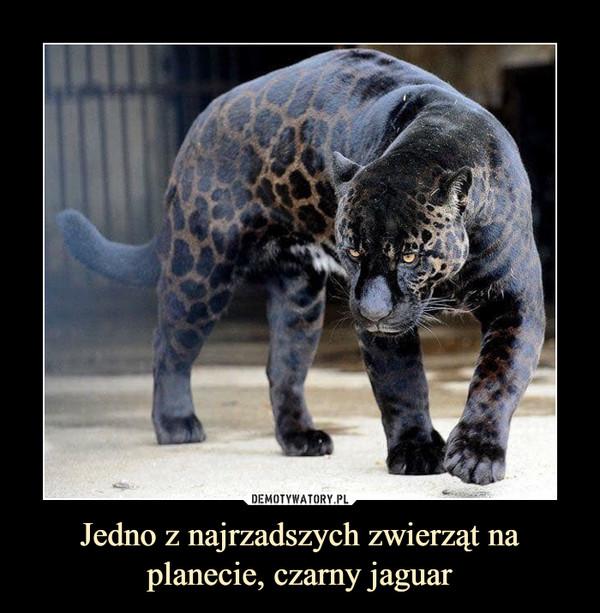 Jedno z najrzadszych zwierząt na planecie, czarny jaguar –