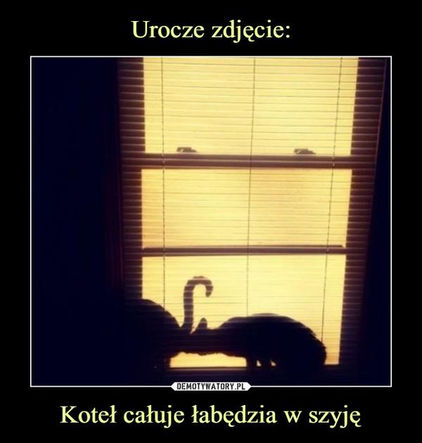 Koteł całuje łabędzia w szyję –