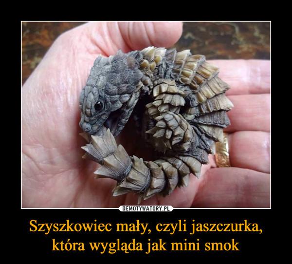 Szyszkowiec mały, czyli jaszczurka, która wygląda jak mini smok –