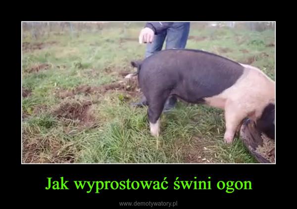 Jak wyprostować świni ogon –