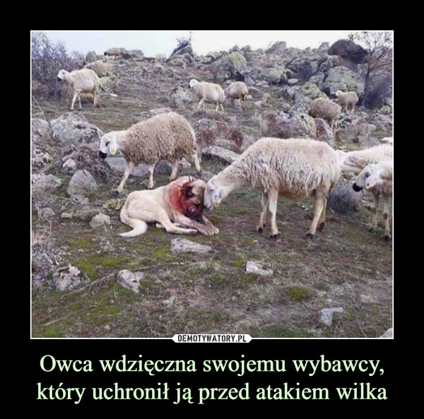 Owca wdzięczna swojemu wybawcy, który uchronił ją przed atakiem wilka –