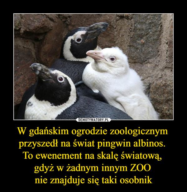 W gdańskim ogrodzie zoologicznym przyszedł na świat pingwin albinos. To ewenement na skalę światową, gdyż w żadnym innym ZOO nie znajduje się taki osobnik –
