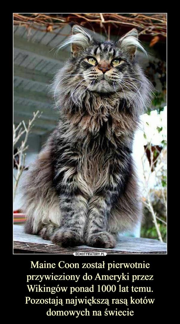 Maine Coon został pierwotnie przywieziony do Ameryki przez Wikingów ponad 1000 lat temu. Pozostają największą rasą kotów domowych na świecie –