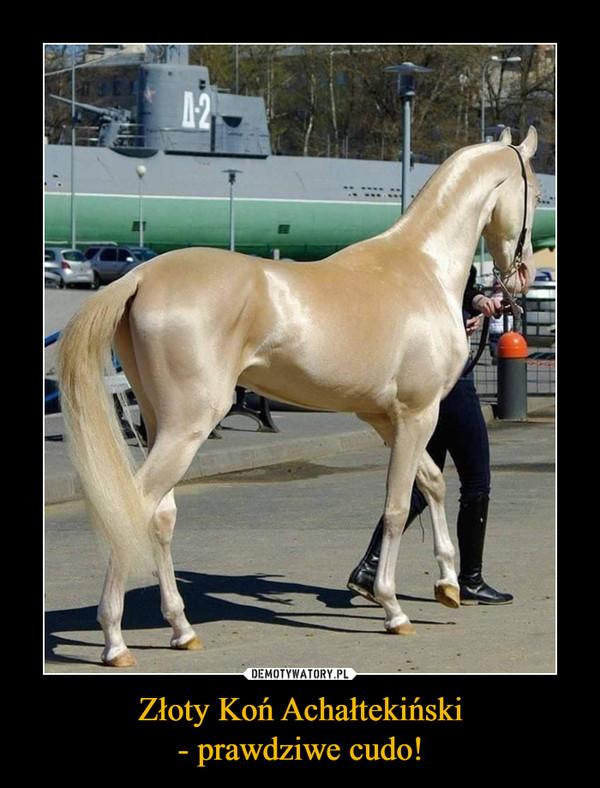 Złoty Koń Achałtekiński- prawdziwe cudo! –