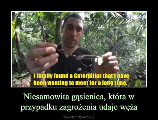 Niesamowita gąsienica, która w przypadku zagrożenia udaje węża –