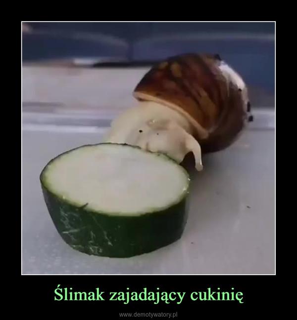 Ślimak zajadający cukinię –