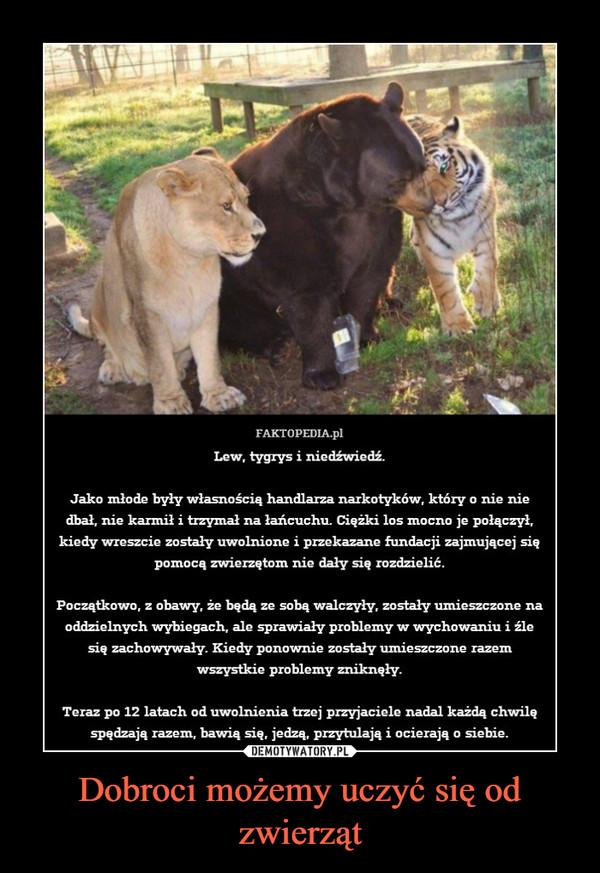 Dobroci możemy uczyć się od zwierząt –  FAKTOPEDIA.pl Lew, tygrys i niedźwiedź Jako młode były własnością handlarza narkotyków, który o nie nie dbał, nie karmił i trzymał na łańcuchu. Ciężki los mocno je połączył, kiedy wreszcie zostały uwolnione i przekazane fundacji zajmującej się pomocą zwierzętom nie dały się rozdzielić. Początkowo, z obawy, że będą ze sobą walczyły, zostały umieszczone na oddzielnych wybiegach, ale sprawiały problemy w wychowaniu i źle się zachowywały. Kiedy ponownie zostały umieszczone razem wszystkie problemy zniknęły. Teraz po 12 latach od uwolnienia trzej przyjaciele nadal każdą chwilę spędzają razem, bawią się, jedzą, przytulają i ocierają o siebie.
