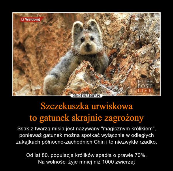 """Szczekuszka urwiskowato gatunek skrajnie zagrożony – Ssak z twarzą misia jest nazywany """"magicznym królikiem"""", ponieważ gatunek można spotkać wyłącznie w odległych zakątkach północno-zachodnich Chin i to niezwykle rzadko.Od lat 80. populacja królików spadła o prawie 70%.Na wolności żyje mniej niż 1000 zwierząt"""