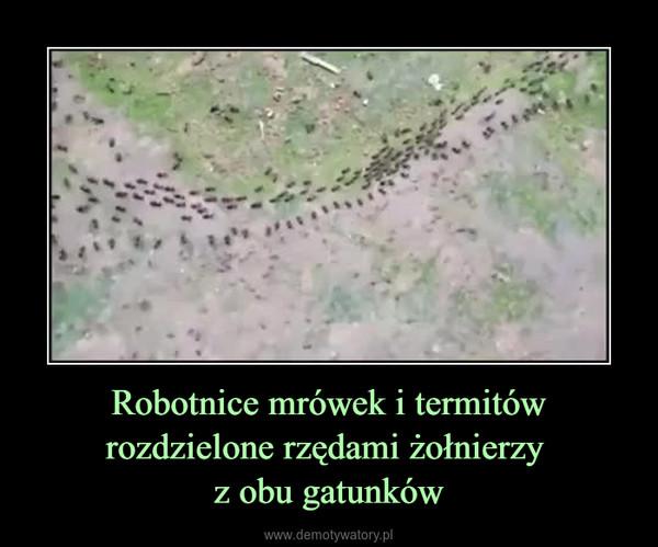 Robotnice mrówek i termitów rozdzielone rzędami żołnierzy z obu gatunków –