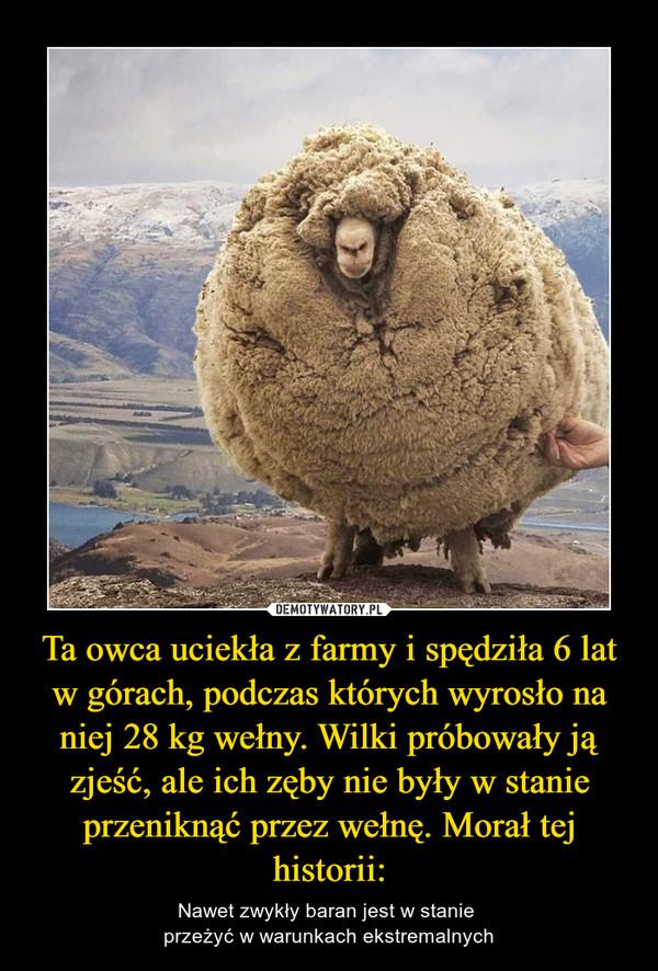Ta owca uciekła z farmy i spędziła 6 lat w górach, podczas których wyrosło na niej 28 kg wełny. Wilki próbowały ją zjeść, ale ich zęby nie były w stanie przeniknąć przez wełnę. Morał tej historii: – Nawet zwykły baran jest w stanie przeżyć w warunkach ekstremalnych