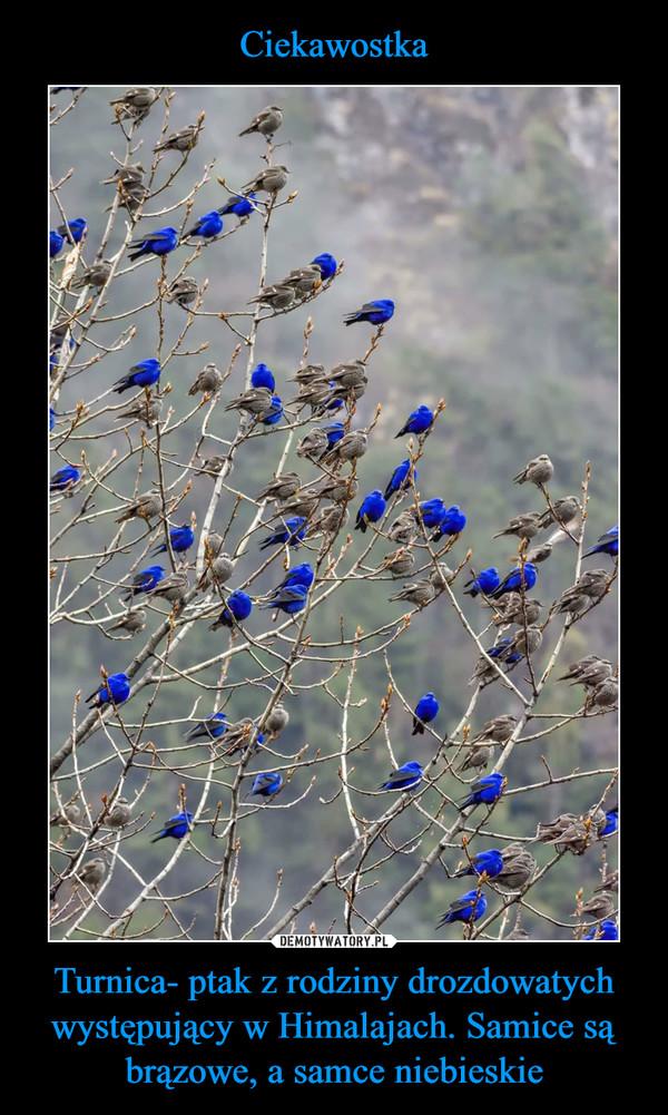 Turnica- ptak z rodziny drozdowatych występujący w Himalajach. Samice są brązowe, a samce niebieskie –