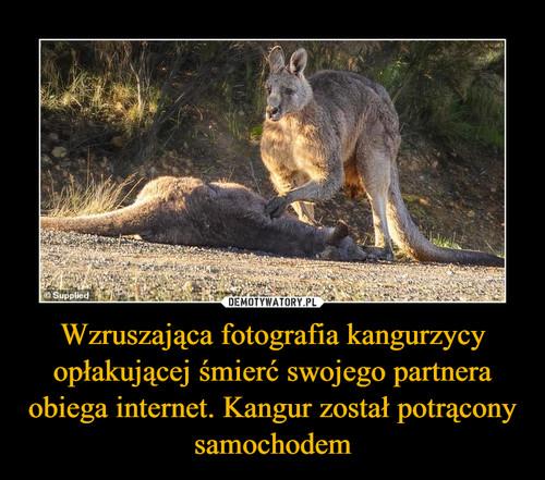 Wzruszająca fotografia kangurzycy opłakującej śmierć swojego partnera obiega internet. Kangur został potrącony samochodem