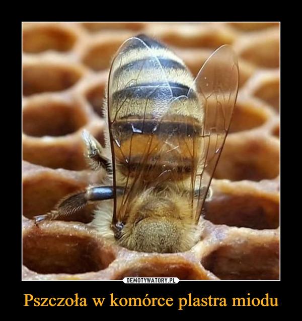 Pszczoła w komórce plastra miodu –