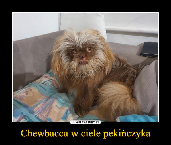Chewbacca w ciele pekińczyka –