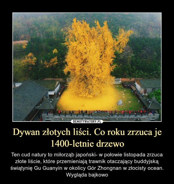 Dywan złotych liści. Co roku zrzuca je 1400-letnie drzewo – Ten cud natury to miłorząb japoński- w połowie listopada zrzuca złote liście, które przemieniają trawnik otaczający buddyjską świątynię Gu Guanyin w okolicy Gór Zhongnan w złocisty ocean. Wygląda bajkowo