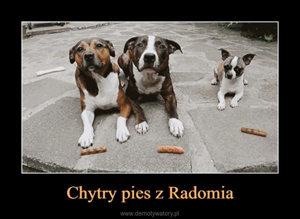 Chytry pies z Radomia –
