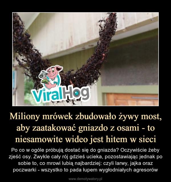 Miliony mrówek zbudowało żywy most, aby zaatakować gniazdo z osami - to niesamowite wideo jest hitem w sieci – Po co w ogóle próbują dostać się do gniazda? Oczywiście żeby zjeść osy. Zwykle cały rój gdzieś ucieka, pozostawiając jednak po sobie to, co mrowi lubią najbardziej: czyli larwy, jajka oraz poczwarki - wszystko to pada łupem wygłodniałych agresorów