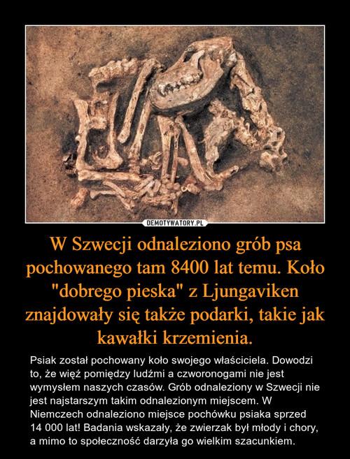 """W Szwecji odnaleziono grób psa pochowanego tam 8400 lat temu. Koło """"dobrego pieska"""" z Ljungaviken znajdowały się także podarki, takie jak kawałki krzemienia."""