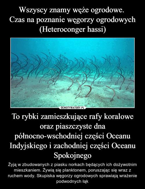 Wszyscy znamy węże ogrodowe.  Czas na poznanie węgorzy ogrodowych (Heteroconger hassi) To rybki zamieszkujące rafy koralowe oraz piaszczyste dna północno-wschodniej części Oceanu Indyjskiego i zachodniej części Oceanu Spokojnego