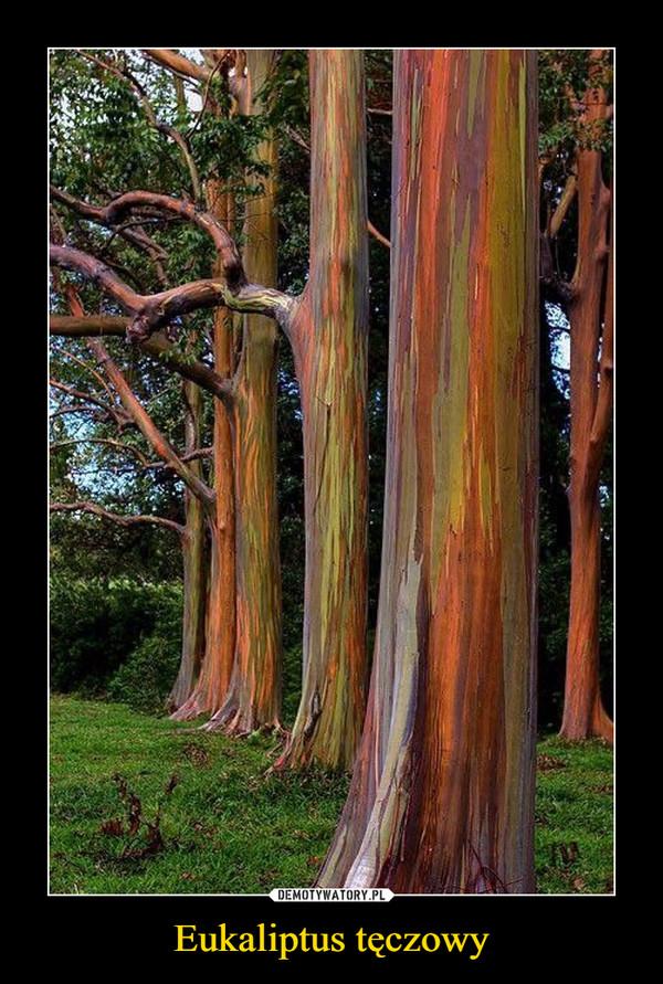 Eukaliptus tęczowy –