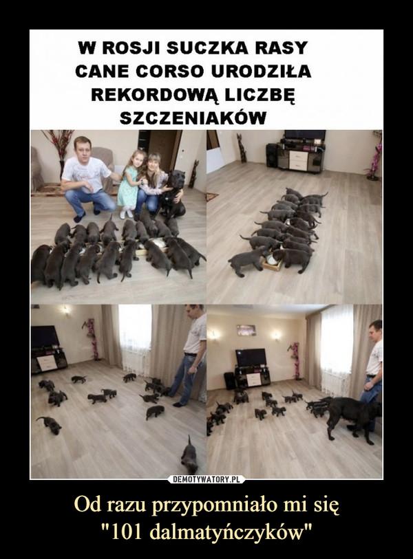 """Od razu przypomniało mi się""""101 dalmatyńczyków"""" –  W Rosji suczka rasy cane corso urodziła rekordową liczbę szczeniaków"""