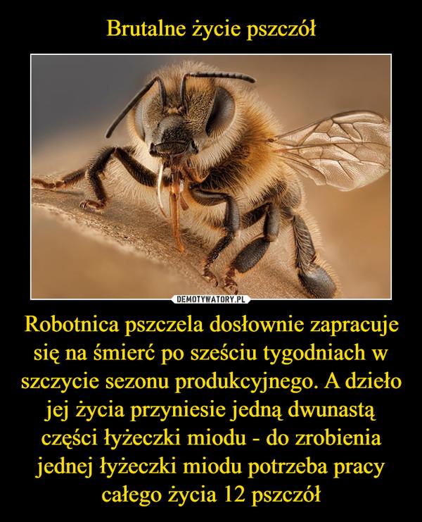Robotnica pszczela dosłownie zapracuje się na śmierć po sześciu tygodniach w szczycie sezonu produkcyjnego. A dzieło jej życia przyniesie jedną dwunastą części łyżeczki miodu - do zrobienia jednej łyżeczki miodu potrzeba pracy całego życia 12 pszczół –