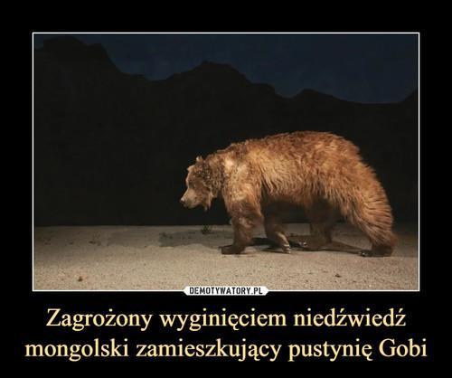 Zagrożony wyginięciem niedźwiedź mongolski zamieszkujący pustynię Gobi